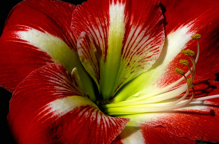 Amaryllis by Morning