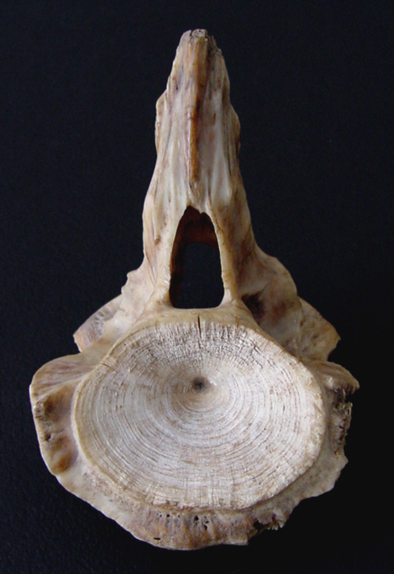 Natures Symmetry is not perfect - Vertebra from a 495 lb. fish.