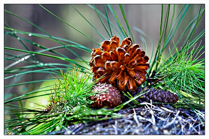 Pinecone Sunlight - Foreground Bokeh