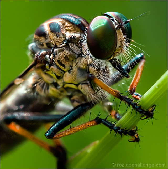 anatomy of a robberfly