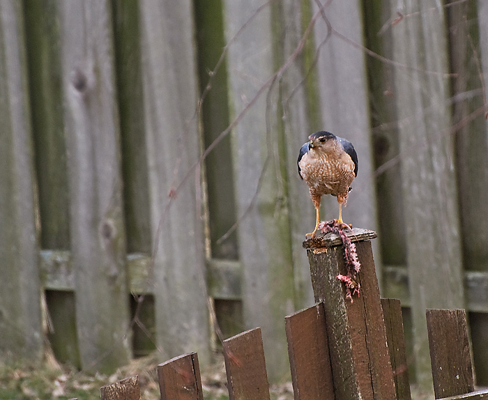 Lunch on a Fence Post