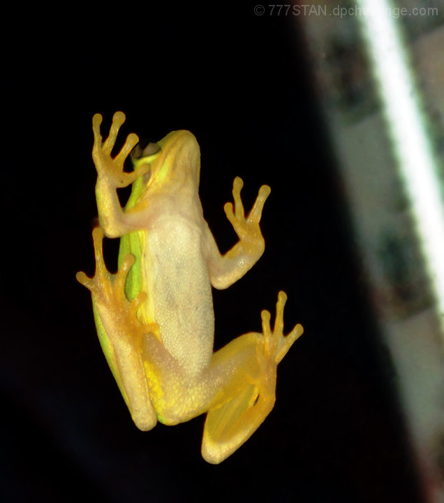 """What Ya Watchin'?"" (Frog on Living Room Window Near Thermometer)"