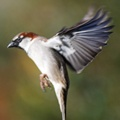 Sparrow on the wing