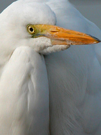 Great Egret Beak'on of Color