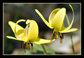 Spooning (Yellow Trout Lily...Wildflower)