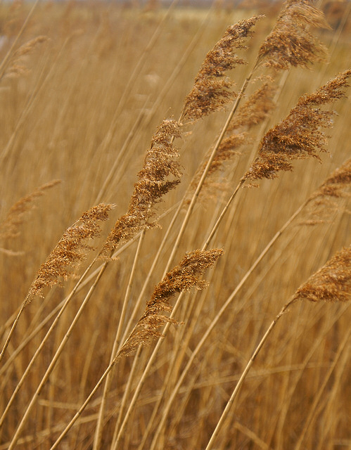 Fenland Reeds - naturally brown