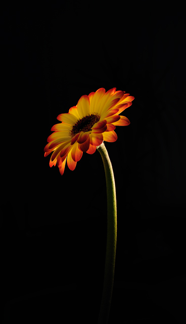 Gerbera - Out Of The Darkness