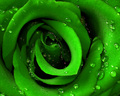 Roses are green?