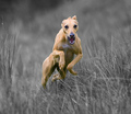 Unbelievably Volatile Whippet
