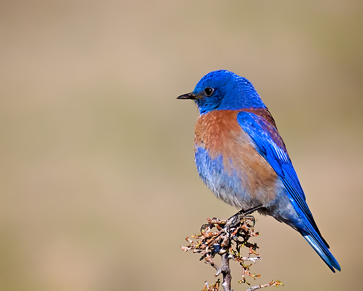 Bluebird Contemplates Dinner