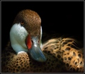 Portrait of a Pintail
