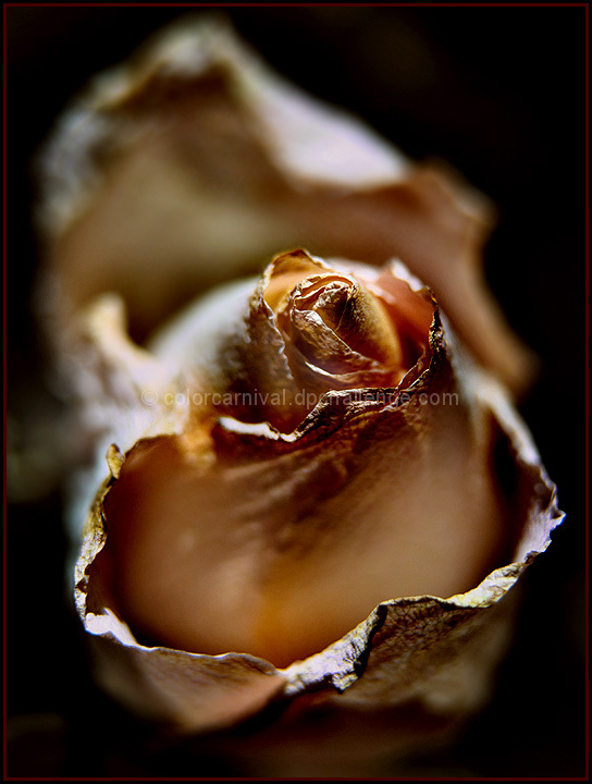 Portrait of a Dying Rose