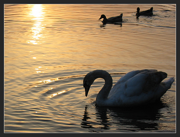 Swan with Two Ducks at Sunset
