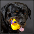 Don't have to thank me kid, it's my duty as a coastguard dog. 'Well, Gee! Thnx, but I'm a DUCK!!'