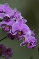 Bountiful Orchid