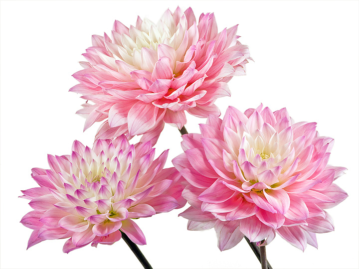 Our dahlia bulbs bloom into stunning unique flowers.
