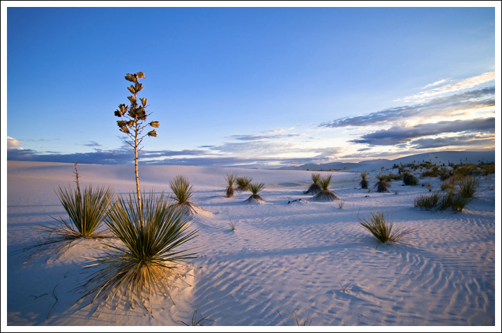 Yucca In The Dunes - Evening Light