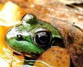 There's a fly on the eye of the frog on the log in the hole in the middle of the leaves!