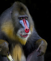 Mandrill Colors