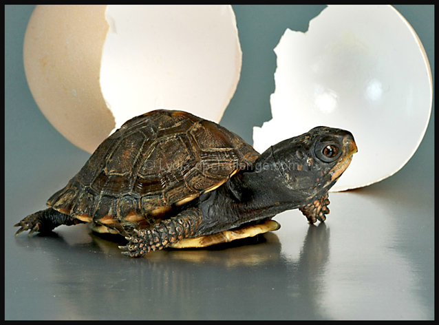 Which Came First -- The Turtle or The Egg?