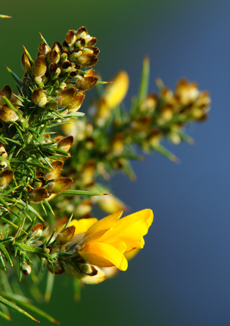 Of Course, its Gorse!