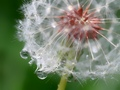 Heart of a dandelion.....surviving the downpour