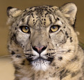 Portrait of a Snow Leopard