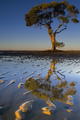 Mangrove tree with reflection
