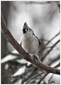 Winter Tufted Titmouse