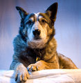 Joey - Austrailian Cattle Dog