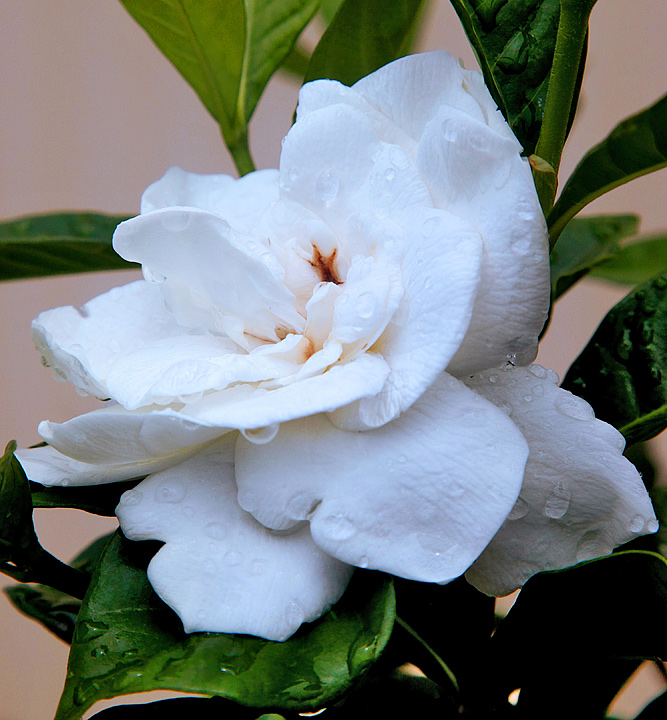 """Gardenia Lacy Lady""after the rain"