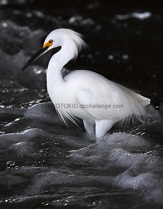 Great Egret amongst the waves
