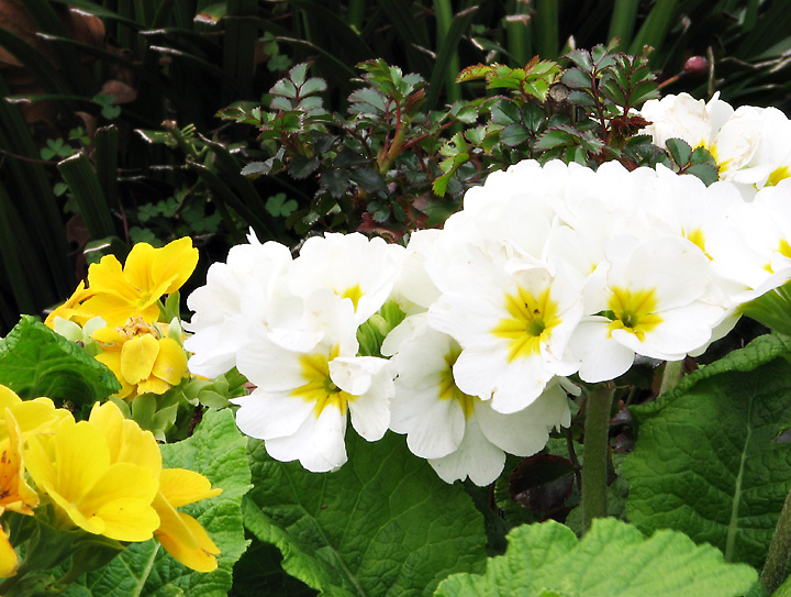MARCH of the Primroses