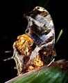 Tiger-striped Leafwing