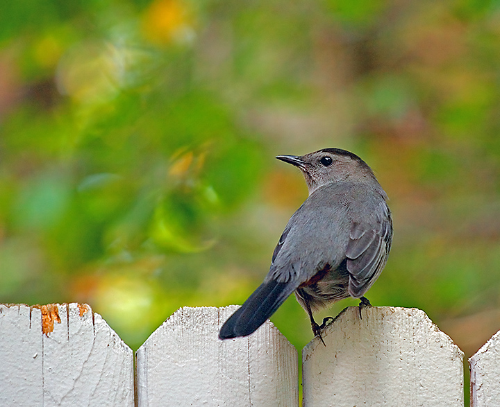Grey Catbird and Abstract Friend