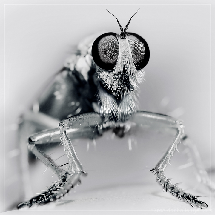 Portrait of a Robber Fly
