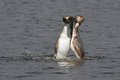 Dance of the Grebes