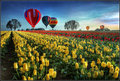 Hot air balloons over tulip fields