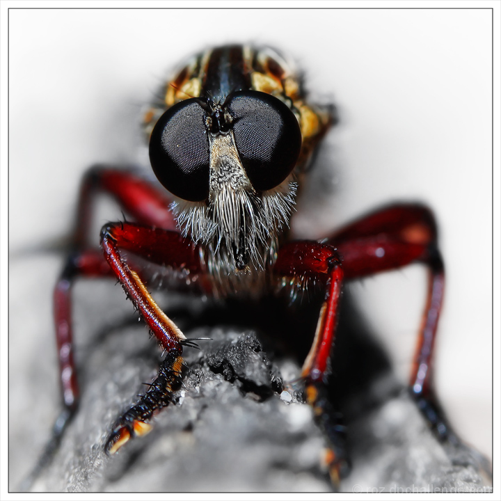 Robber Fly (Insecta: Diptera: Asilidae)