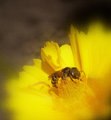 yellow jacket buttercup