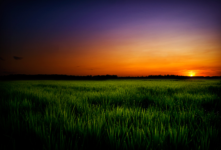 Delta Rice Field at Sunset