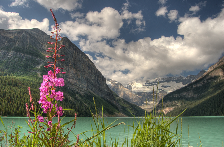 Fireweed at Lake Louise
