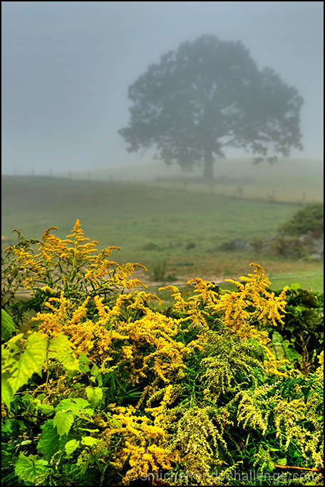 Golden Rod & Fog