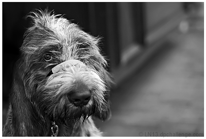 Marco the Spinone Italiano
