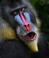 Mandrill PORTRAIT, RULE OF THIRDS, SHALLOW DOF