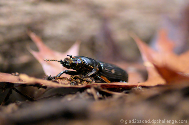 Woodland Ground Beetle - Coming Thru!