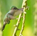 Antiguan Humming Bird