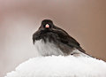Audobon's Common Snow-bird