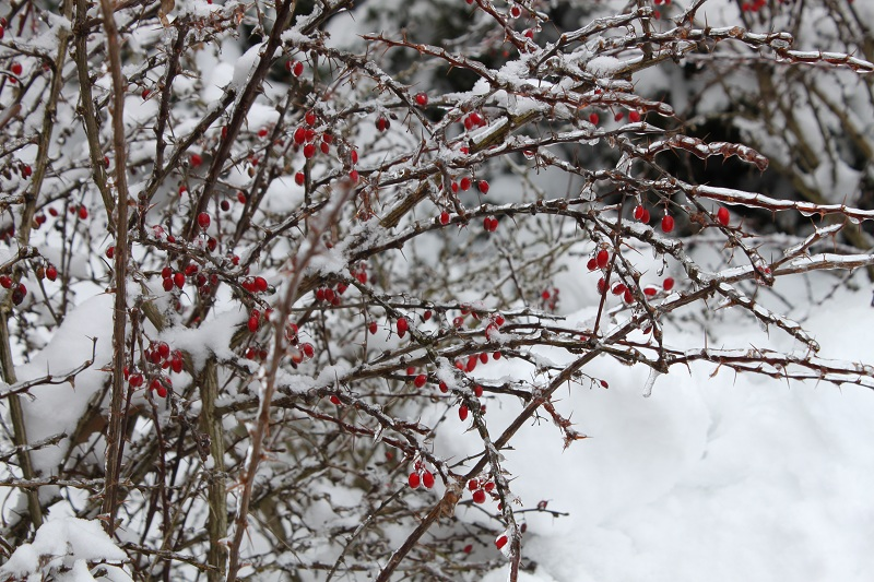 Red Berries on Snow and Ice