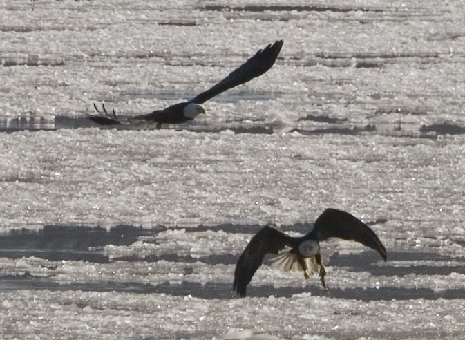 Ice Fishing Eagles